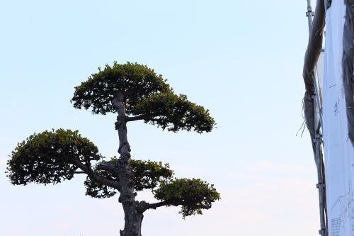 敷地内にある立派な松の木