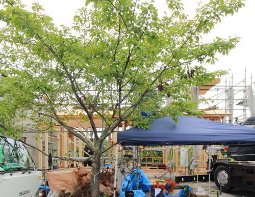 吉備中央町に建築がスタートした絵本の図書館コミュニティスペース、お庭になるシンボルツリーの桜
