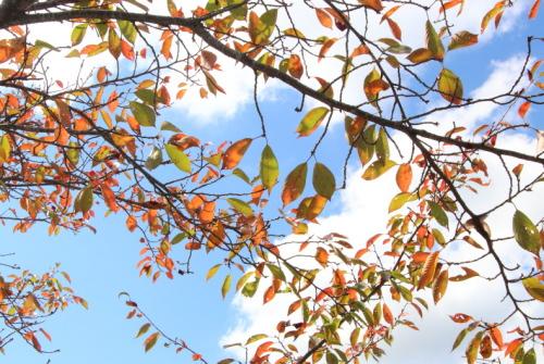 桜の木が紅葉しています